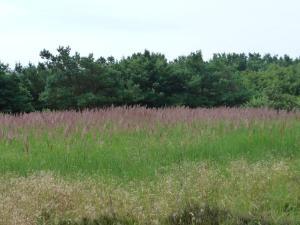 Falkenberg lila gräs vy