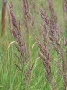 Falkenberg lila gräs